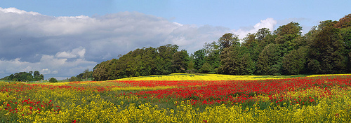 The poppy field, Pattiesmuir, Fife